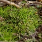 The hornwort plant relies on nitrogen-fixing soil bacteria to give it life